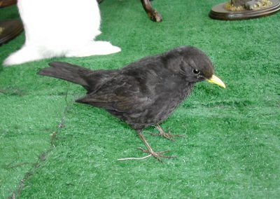 British Birds 001