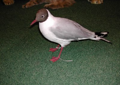 British Birds 009