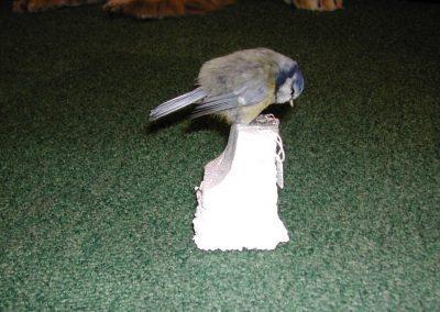 British Birds 016