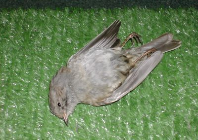 British Birds 018
