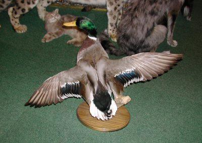 British Birds 027