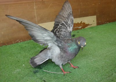 British Birds 039