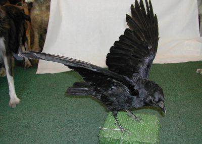 British Birds 060