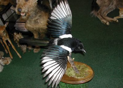 British Birds 074