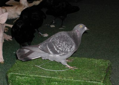 British Birds 082