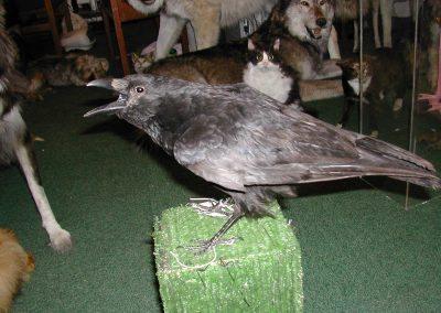 British Birds 088