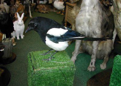 British Birds 092
