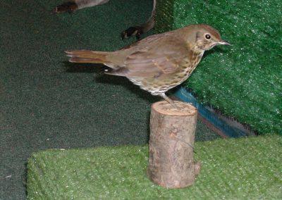 British Birds 116