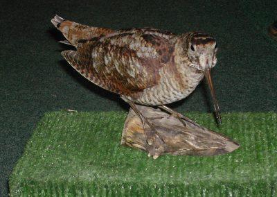 British Birds 118