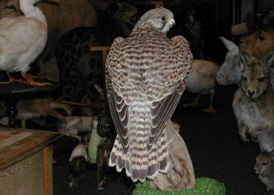 British Birds 119