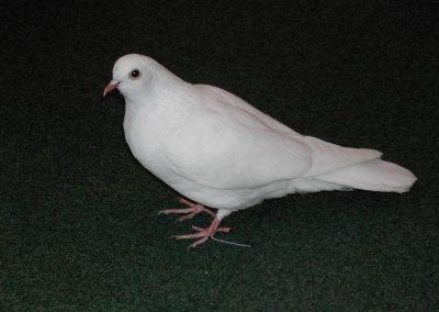 British Birds 130