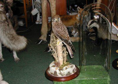 British Birds 135