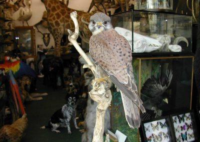 British Birds 213