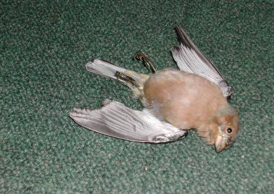 British Birds 232