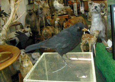 British Birds 242