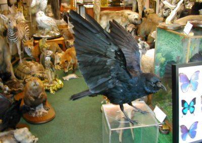 British Birds 247