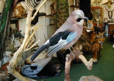 British Birds 259