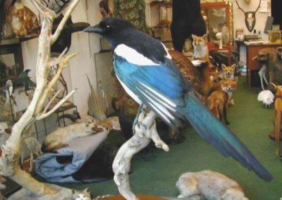 British Birds 261