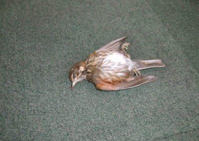 British Birds 266