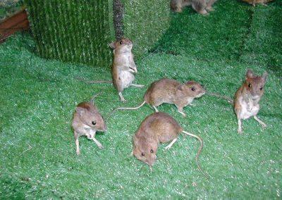 British Mammals 042