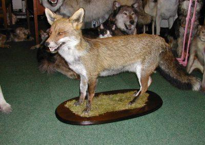 British Mammals 053