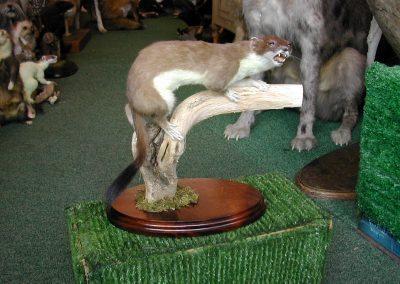 British Mammals 058