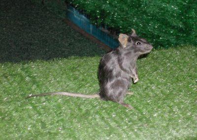 British Mammals 079