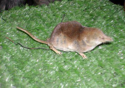 British Mammals 090