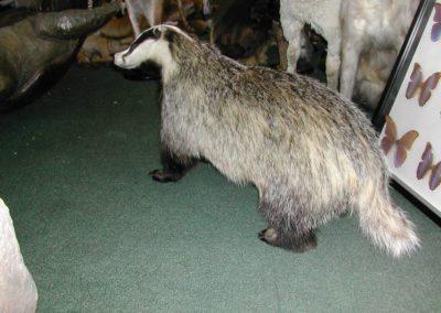 British Mammals 179