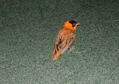 Foreign Birds 030