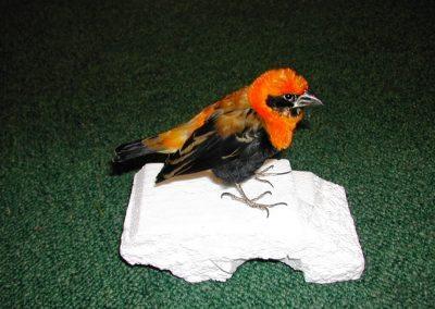 Foreign Birds 036