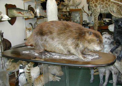 Foreign Mammals 106