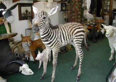 Foreign Mammals 136