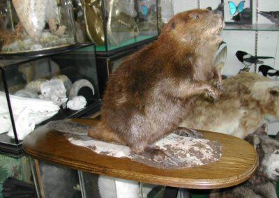Foreign Mammals 139