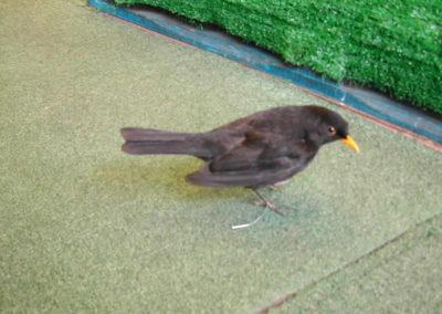 British Birds 305
