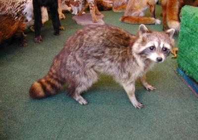 Foreign Mammals 177